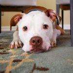 CBD bei Hunden mit Epilepsie